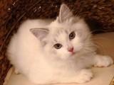 低价出售纯种布偶猫,多款选择,价格从优