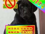 常年出售纯种健康精品拉布拉多犬专业缔造完美品质签协议