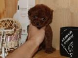 优良品质 自家犬场繁殖泰迪幼犬 包纯健康欢迎上门挑选