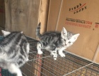 出售虎斑猫 三只小猫 一种公