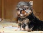 大连哪里卖约克夏犬幼犬大连约克夏多少钱一只金头银背约克夏图片