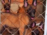 纯种马犬出售 兴奋度超高 弹跳力强 咬口紧 保健康