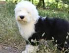 南宁哪里有古代牧羊犬出售 古牧全白头哪里的比较好 多少钱
