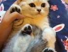 成都哪里有卖蓝猫幼崽哪里卖的蓝猫更健康
