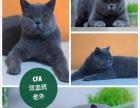 郑州本地 英短 蓝猫 蓝白 短毛猫 求带走 可刷卡