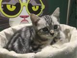 北京昌平美国短毛猫幼猫怎么卖
