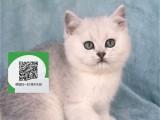 新乡哪里有蓝猫出售 新乡蓝猫价格 新乡宠物猫转让出售
