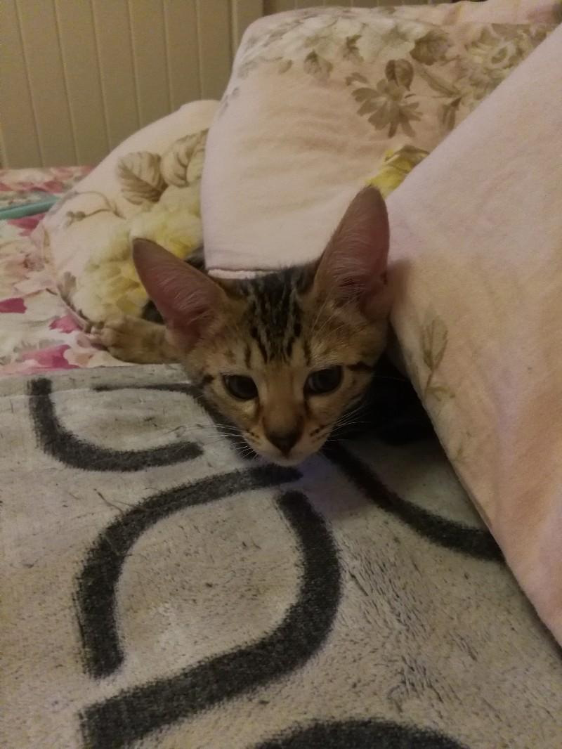 沈阳地区3个月纯种孟加拉豹猫弟弟猫咪出售