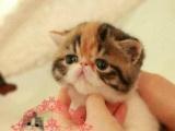 ㈐㈚C F 猫舍出售纯种异国短毛猫加菲猫