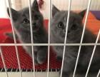 蓝猫宝宝,2个月