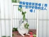 长期出售自家繁殖龙猫