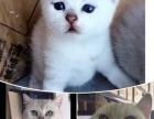 自家繁殖渐层猫,纯种