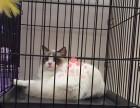 潍坊人都到哪里去买布偶猫 潍坊较便宜布偶猫价格