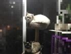 布偶山猫白手套割爱出售