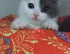 南宁买卖宠物狗地方 南宁哪里卖健康蓝猫价格便宜