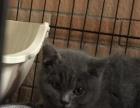 四个月的蓝猫宝宝求带回家