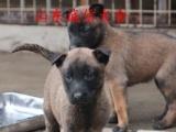 潮州市哪里有卖纯种马犬的比利时马犬去哪里买