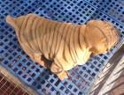 精品纯种中国沙皮犬幼犬 出售沙皮狗宠物狗狗 赛级血统健康家养