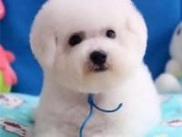 国外引进大眼睛甜美脸型比熊幼犬保纯种健康质保终身