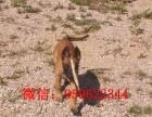 济南出售马犬 马犬价格 马犬图片 马犬幼犬 马犬多少钱