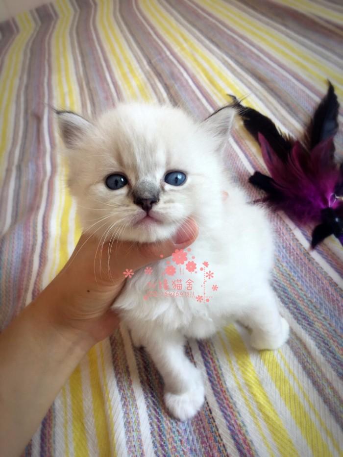 济南哪里有卖布偶猫 济南买布偶猫到哪里好