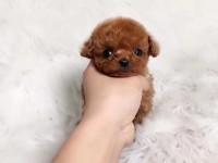 广州本地犬舍直销纯种大眼睛泰迪茶杯泰迪迷你泰迪疫苗驱虫已做