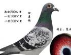 出售成绩鸽信鸽血统鸽观赏鸽