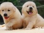 赠送礼包,包防疫驱虫 可看见狗父母 纯种 金毛犬