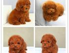 **泰迪茶杯犬玩具迷你等体型 颜色多选包健康
