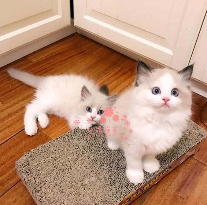 长沙哪里有正规猫舍 长沙出售布偶猫 纯种布偶猫价格