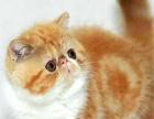 猫舍直销纯种 家养 幼猫 散养加菲猫 多只待