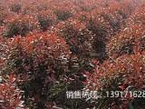 红叶石楠球苗圃基地,红叶石楠球产地价格