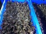 里有小龍蝦苗賣里有小龍蝦苗批發