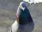 清棚打包出售五十多只鸽子