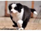 家养精品健康纯种边牧幼犬 无中介 支持上门可送货
