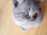 可爱的蓝猫妹妹