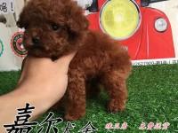 深圳哪里有卖泰迪熊 深圳泰迪熊多少钱 泰迪好不好养