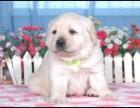 拉拉幼犬 拉布拉多导盲犬 纯种健?#30331;?#21327;议有血统