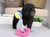 泰迪犬保证纯种一保证健康一保证纯种一假一赔十