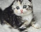 西安哪里出售纯种美国标斑短毛猫纯种美国标斑短毛猫多少钱一只