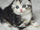 四川成都纯种美国短毛猫一手出售