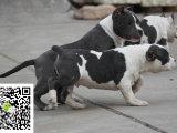 在哪里买纯种的比特幼犬 比特幼犬最低多少钱