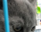 特价蓝猫找新主人