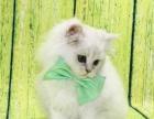 金吉拉猫家庭纯种繁殖包纯种健康