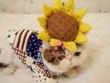 潍坊哪里有卖加菲猫幼崽 潍坊最便宜加菲猫多少钱一只保健康