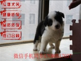 哪里有出售纯种边牧犬 七白到位 纯种健康 疫苗做齐多少钱
