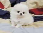 哈多利博美俊介博美幼犬出售 保健康 宠物狗活体