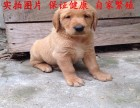 佛山南海纯种金毛寻回犬幼犬出售保证健康