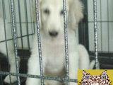 何处出售阿富汗猎犬 纯种阿富汗猎犬多少钱