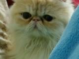 廣州純種波斯貓出售 多少錢 哪里賣